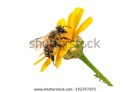 Bee on the yellow flower. Close up. Isolated on white