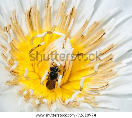 bee on top of white lotus flower