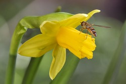 Bee on yellow daffodil (Narcissus) spring flower, shallow depth of field macro photography