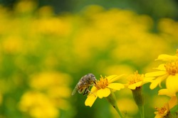 Bee on yellow flower and yellow field