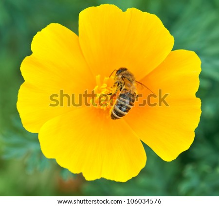 Bee on yellow flower background