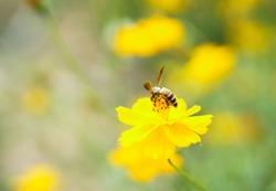 Bee on yellow flowers. Chrysanthemum.