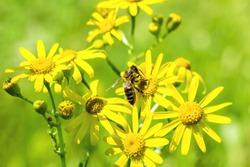 Bee on yellow flowers spring groundsel (Senecio vernalis), macro. Selective focus
