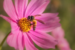 bee or honeybee sitting on a pink daisy flower collecting nectar , macro shot with blurred background