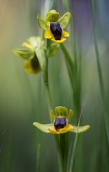 Bee orchid flower (Ophrys lutea)