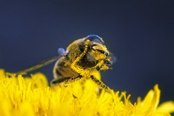 Bee pollen is cleaned on a flower