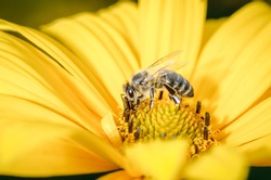 bee pollinates a yellow flower/bee pollinates a yellow flower, Pollinations of concept.