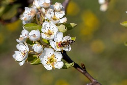 Bee pollinates apple tree flowers on a sunny spring day