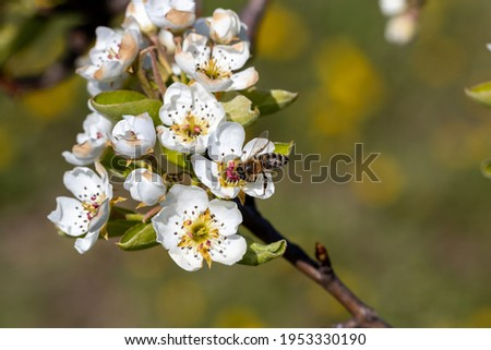 Bee pollinates apple tree flowers on a sunny spring day Stock photo ©