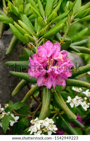 Bee Pollinates Rhododendron Blooms blooming in the mountains #1542949223