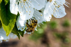 bee pollinates white flowers of cherry on flowering tree in spring, colorful background with image of insects and vegetation
