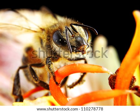 Bee Pollinating a Beautiful Flower macro in very narrow focus - stock photo