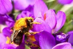 Bee pollinating a crocus flower in springtime