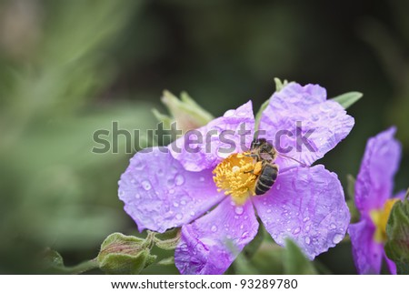 bee pollinating a flower-rose after rain