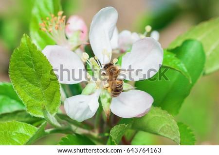 bee pollinating blooming apple flower, spring in orchard. Honey-bee pollinating apple blossom, outdoor photo, closeup shot. Honeybee pollinates apple flower in fruit garden.