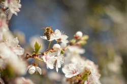 Bee pollinating flowers in cherry blossom orchard. Honey bee collects nectar. Typical macro spring photo. Flowers pollinator. Bee pollination.