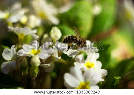Bee pollinating the early spring flowers - primrose. Primula vulgaris with a worker honey bee feeding on nectar, macro background