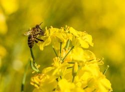 bee pollinating yellow rape flower
