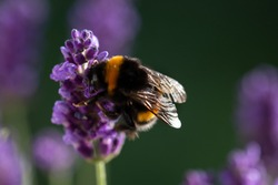 Bee pollination on a lavender flower - macro photo