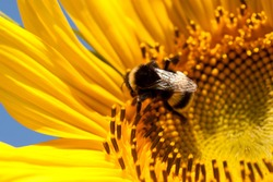 Bee sitting on a sunflower