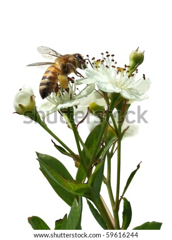 Bee sitting on a white flower isolated on a white background