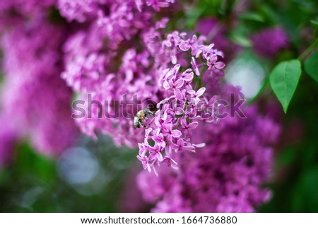 Bee sitting on top of a lilac flower. Blossom lilac flowers in spring in garden. branch of Blossoming purple lilacs in spring. Blooming lilac bush. A bee collects nectar from a lilac. Spring season