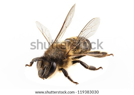 Bee species apis mellifera common name Western honey bee or European honey bee isolated on white background