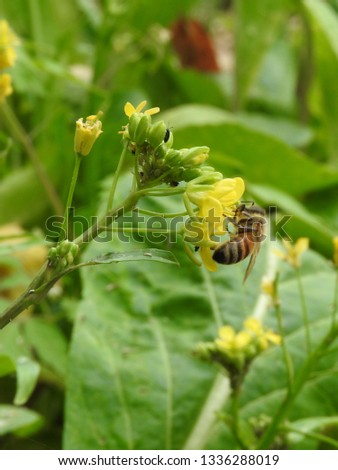 Bee sucking nectar within yellow flower in the vegetable garden in a sunny day. Nectar is collected by bees to make into honey. Eco-friendly vegetable cultivation. Nature, organic,ecosystem  concept.
