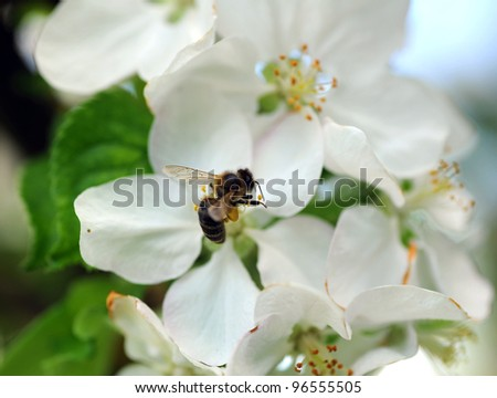 Bee takes nectar from apple blossom.