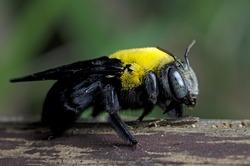Bee, Tropical carpenter bee ( Xylocopa latipes ),  Tropical carpenter bee rest on wooden fence, Bee of thailand