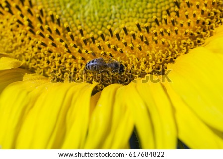 Bee trying to find the best pollen on the head of sunflower, close up