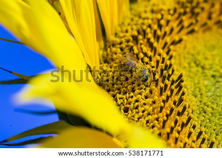 Bee trying to find the best pollen on the head of sunflower, macro