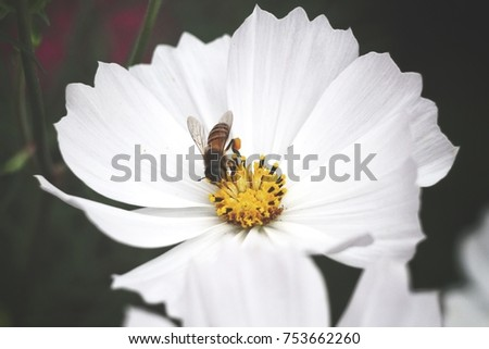 Bee with white cosmos flowers ez canvas bee with white cosmos flowers mightylinksfo