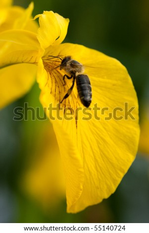 bee with yellow irys