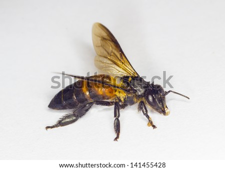 bee worker isolated white background
