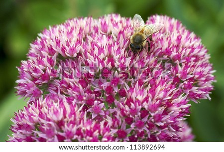 bee working on red flowers