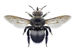 Bee Xylocopa collaris on a white background