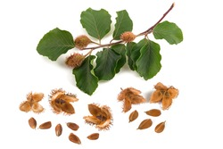 Beech branch with beechnuts isolated on white background