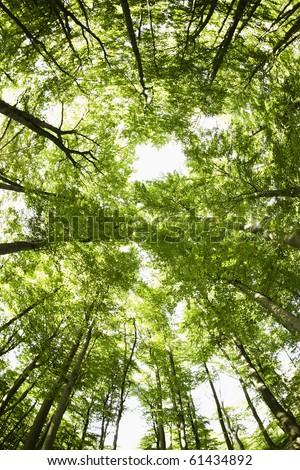 Beech canopy - stock photo