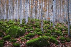 beech forest between rocks with moss in autumn, Aran Valley, Spain.