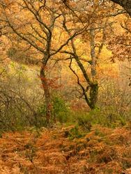 Beech forest in autumn, Montejo de la Sierra beech forest, Madrid, Spain