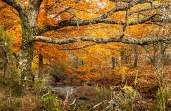 Beech forest in autumn near the town of Montejo de la Sierra in Spain. It is the southernmost beech forest in Europe.