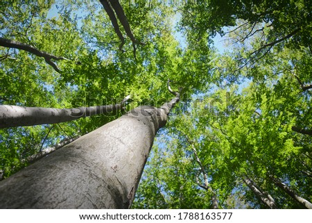 Beech forest in Jizera Mountains, Czech Republic. Ancient and Primeval Beech Forests. UNESCO World Heritage woods of the Carpathians and Other Regions of Europe. Beech trees in summer.