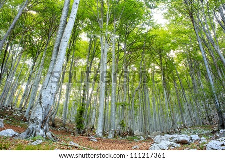 Beech forest in Slovenia