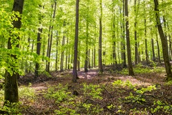 Beech forest in spring in the morning. The sun illuminates the lush green leaves. HDR, Germany.