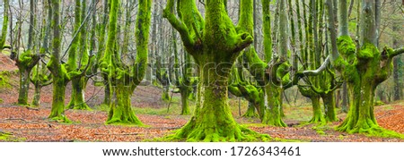 Beech forest of Gorbeia Natural Park between the Basque provinces of Alava and Bizkaia in the Basque Country Autonomous Community of Spain in Europe Foto stock ©