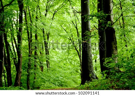 Beech forest on cloudy days after rain