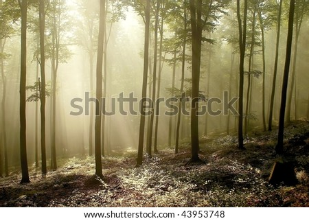 Beech forest on the mountain slope at dawn after a few weekly rainfall.