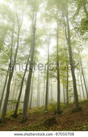 Beech forest on the mountain slope in a misty autumn morning. - stock photo