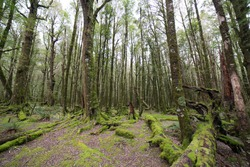 Beech forest scenery.Beautiful mossy forest in New Zealand.